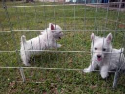 Filhotes da raça West Highland White Terrier - Pedigree cbkc