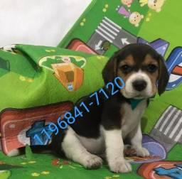 Anuncio com fotos reais e atuais, filhote de Beagle macho tricolor a pronta entrega