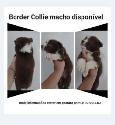 Título do anúncio: Border Collie macho