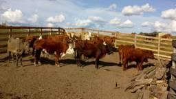 vacas e terneiros