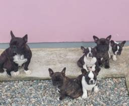 Lindos Filhotes de Bulldog Frances