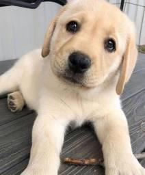 Título do anúncio: Labrador - Lindos e saudáveis