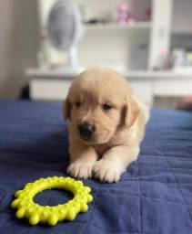 Título do anúncio: Filhote de Golden Retriever - Disponível para retirada