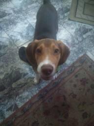 Beagle macho original