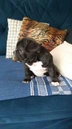 Título do anúncio: Bulldog Francês Filhote (Macho)