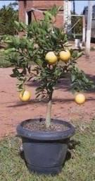 Título do anúncio: Limões laranjas e tangerinas 4 und variadas R$100