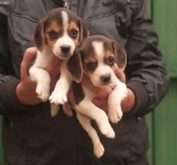Título do anúncio: Filhotes De Beagles A Pronta  Entrega Compre Já com pedigree