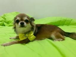 Reserva filhotes de Chihuahua pelo longo