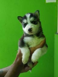 Título do anúncio: filhote husky siberiano wooly