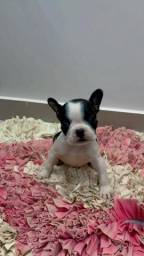 Bulldog francês lindos