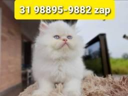 Título do anúncio: Gatil em BH Maravilhosos Filhotes de Gatos Persa Siamês ou Angora