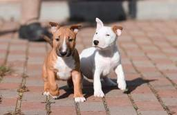 Título do anúncio: Maravilhosos filhotes de Bull Terrier