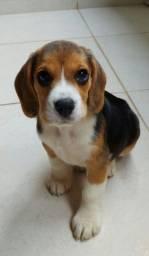 Título do anúncio: Filhotes de Beagle Tricolor