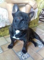 Bulldog Francês/ Shih- Tzu