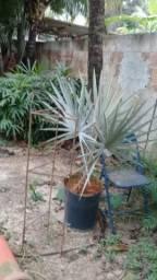 Palmeira bismark 1 metro