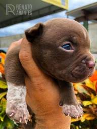 American Bully Kennel Registrado