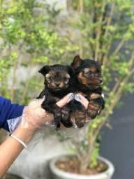 Yorkshire Terrier tamanhos micro e padrão, a pronta entrega, machos e fêmeas!