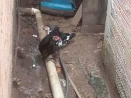 Pato e pata