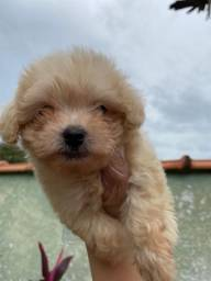 Poodle com pedigree e microchip em até 12x