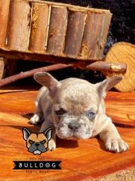 Bulldog frances femea merle