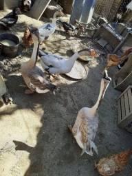 Vendo gansos  africanos