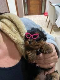 Yorkshire baby face filhote disponível