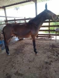 Cavalo - Burro 6 anos manso
