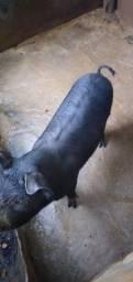 Vendo uma porquinha