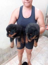 Lindos e Top Filhotes de Rottweiler nessas fotos com apenas 32 dias!