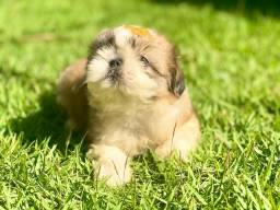 Baby de Shih tzu pronto para entrega