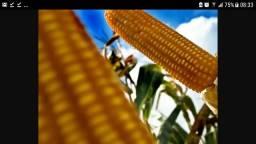 Silagem de milho com espiga