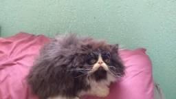 Gato Persa pelos longos