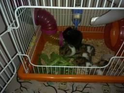Vende-se filhote de hamster