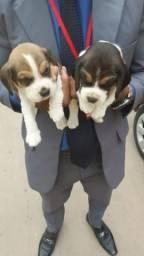 Filhotes beagle,preço a negociar