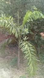 Palmeira rabo de raposa 2 metros