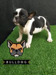 Bulldog francês branco Piratinha macho