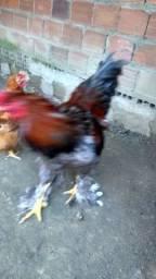 Casal de galinha Brahma em Rio Largo, Alagoas
