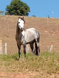 Cavalo Manga Larga Marchador c/registro