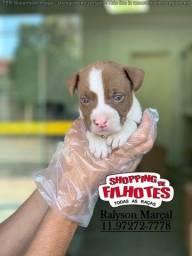 Pitbull Terrier, temos machinhos e fêmeas em loja, agende sua visita