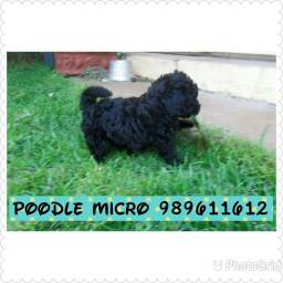 Poodle micro toy pretinha e abricó  a pronta entrega
