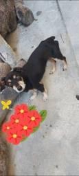 Doação para essas cachorra fêmea