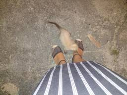 Gatinhos siamês