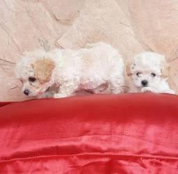Poodle toy filhotes lindos