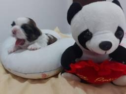 Cachorro da raça shitzu