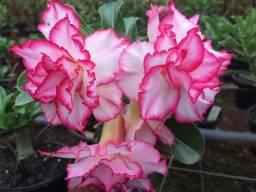 Vendo kit com 200 sementes de rosa do deserto de várias cores