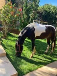 Cavalo Mangalarga Pampa de Preto