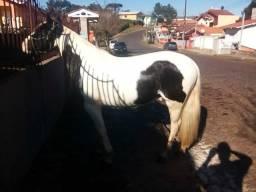 Cavalo crioulo