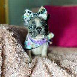 Bulldog francês fêmea disponível com padrão PEQUENO @canilbollisbull