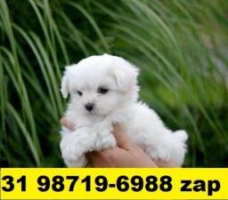 Canil Filhotes Realmente Selecionados BH Maltês Yorkshire Shihtzu Lhasa Beagle