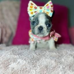 Bulldog francês fêmea PADRÃO BEM PEQUENA disponível @canilbollisbull